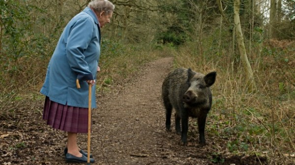Wild-boar-meets-pensioner
