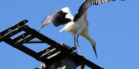 Sintár Anti bácsi idén készült fotói a kismarosi gólyákról