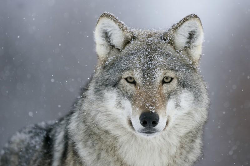 Farkas a Börzsönyben?